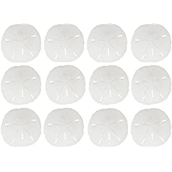 "12 Round Sand Dollars 3 - 3.5"" inches 