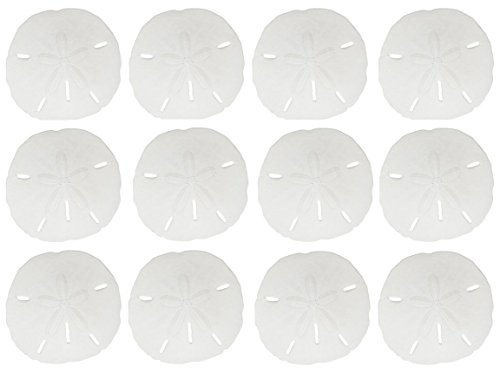 "12 Round Sand Dollars 3 - 3.5"" inches | Natural Medium Sand Dollar Shells | White Real Sand Dollars | Set of 12 | The Seashell Company"