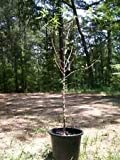 4ft live Nonpareil Almond Nut Tree 5g Trees Plants Nuts Ship to all 50 States US
