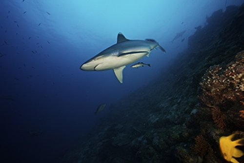 A large silvertip shark on a deep reef in Fiji Poster Print (34 x (Silvertip Reef Shark)