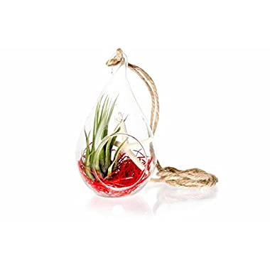 Hinterland Trading Air Plant Starfish Scene In Teardrop Terrarium
