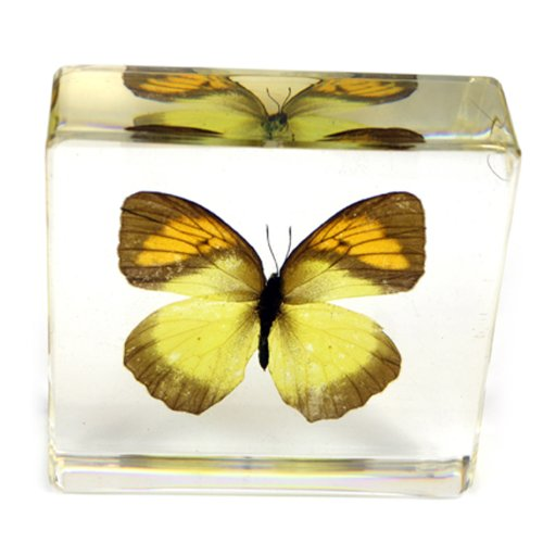 Yellow Orange Tip Butterfly Paperweight(3x3x1