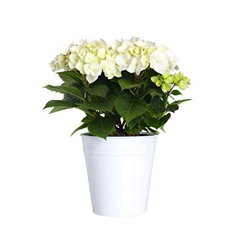 Hydrangea Potted Plant - Plants by Post Gallon Live Hydrangea in White Tin Pot