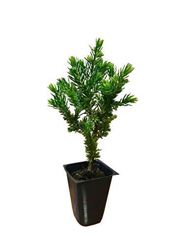 Juniper Blue Pacific Qty 60 Live Plants Evergreen Ground Cover 'Shore Juniper' by Florida Foliage (Image #10)
