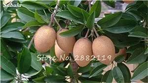 Hot 20 semillas PC Sapodilla al aire libre de semillas de árboles bonsai plantas Jardín Japonés Planta forma de la fruta como una fruta de mango tan delicioso 12: Amazon.es: Jardín
