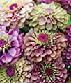 Saavyseeds Lime Mix Zinnia Seeds - 55 Count