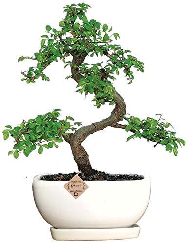 Abana Homes® Bonsai Tree with Ceramic Pot – Ulmus Elm Bonsai