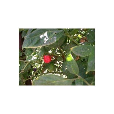 Red Rocoto Hot Pepper 10+ Seeds : Vegetable Plants : Garden & Outdoor