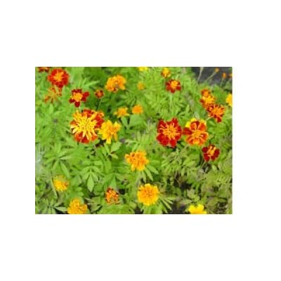 French Marigold Flower Seeds - 1, 000 Flower Seeds in Each Packet : Flowering Plants : Garden & Outdoor