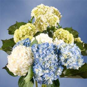 GlobalRose 20 Fresh Cut Assorted Colors Hydrangeas - Fresh Flowers For Weddings or Anniversary. by GlobalRose (Image #6)