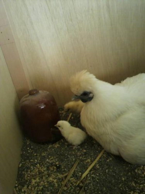 孵化用有精卵 黒烏骨鶏の卵 6個入り