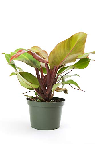 Burpee's 'McColley's Finale' Philodendron | Indirect Low-Medium Light, Easy Care House Plant | 6'' Pot by Burpee
