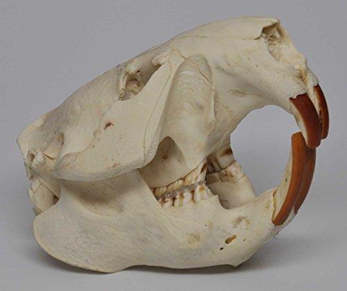 Real Bone American Beaver Skull