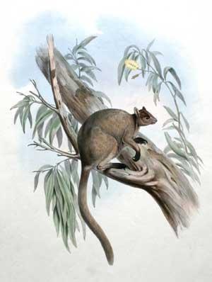 DENDROLAGUS INUSTUS - Grizzled Tree (Kangaroos Canvas)