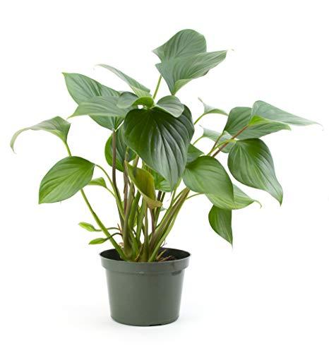 Burpee's 'Emerald Gem' Homalomena | Indirect Medium - High Light, Easy Care House Plant | 6'' Pot by Burpee