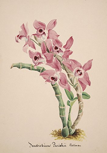 Collection dOrchide c1900 Dendrobium Parishii Poster Print by Unknown (24 x 36)