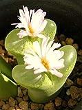 Farmerly Conophytum Longum Rare Mesemb Exotic Succulent Rock Living Stone Seeds 100 Seeds