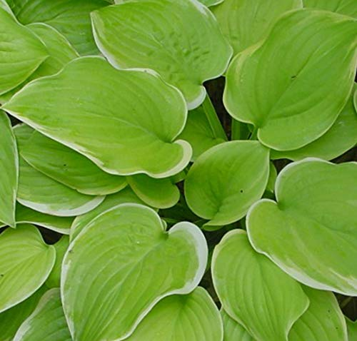 Fragrant Hostas - Fragrant Bouquet Hosta - Liliaceae - Quart Potted - Healthy - Heavy - Perennial - Ea 1 by Growers Solution