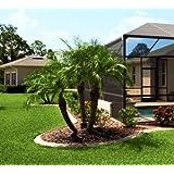 Live Pygmy Date Palm Trees (1 Gallon, Multiple Palms Per Pot)