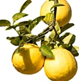 "Ponderosa Lemon Tree Dwarf Citrus - Yellow Edible Fruit - 4"" Potted - 1 Plant by Grower's Solution"