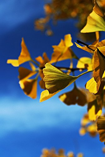 Ginko Leaf Wall - Home Comforts Framed Art for Your Wall Leaves Ginko Tree Autumn Tree Ginko Yellow Nature 10x13 Frame