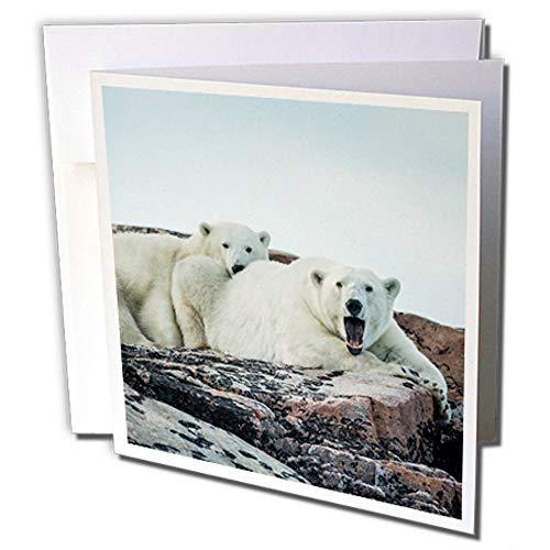 3dRose Canada, Polar Bear and Cub Resting - Greeting Cards, 6