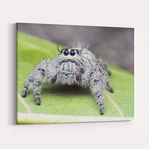 Rosenberry Rooms Canvas Wall Art Prints - Salticus Scenicus Female Jumping Spider, Salticidae, Hyllus Macro Shot Looking Straight On Green Leaf for Macro Nature Backgrounds (20 x 16 inches)