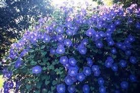 Morning Glory Heavenly Blue Flower UNTREATED Fresh BULK 1 Lb Seeds by Hirt's Gardens (Image #2)