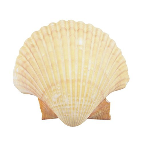 15 Mexican Deep Scallop Shell 3-3.5 (Set of 15) (Small Scallop Shell)