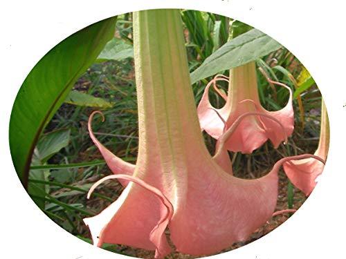 Brugmansia Angel Trumpet - PIROSCHKA Dwarf Brugmansia Angels Trumpet Live Tropical Plant Fragrant Peach Pink Single Flowers Starter 4 Inch Pot Emeralds TM