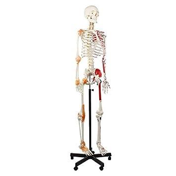 Cranstein A-125 Muskel Skelett-Modell lebensgroß 180cm mit Muskelbemalung 1e8a62918e06e
