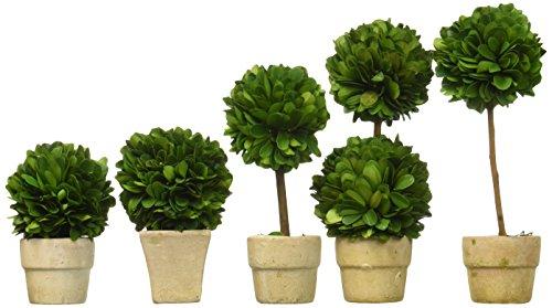 Preserved Boxwood Topiaries, Mini, Set of 5 - English Garden Topiary