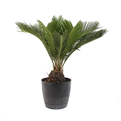 AMERICAN PLANT EXCHANGE King Sago Palm Tree Live Plant, 6
