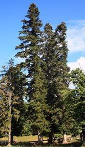 Abies nordmanniana: Normann Fir Seeds