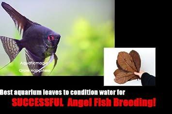 20 Catappa Leaf- Altum Angel Fish Acuario Tropical de agua dulce para la cría de vivir: Amazon.es: Jardín