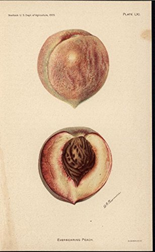 Everbearing Peach Fruit 1905 antique color lithograph print