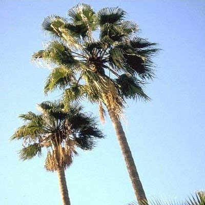 Mexican Fan Palm Tree Seeds, Washingtonia Robusta, Mexican Washingtonia, 15 Premium Quality Tree Seeds, Exotic Palm Tree, 60-80% Germination, (Isla's Garden Seeds) (Coconut Tree Seeds)
