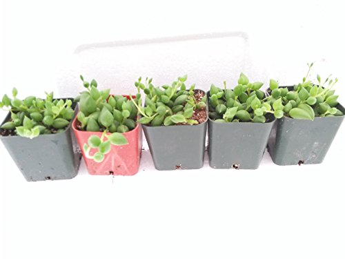 Terrarium & Fairy Garden 5 String of Pearls - Senecio - Easy to Grow - 2