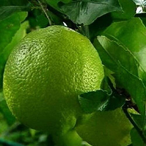 Dwarf Key Lime Citrus Tree Produces Full Size Fruit Dwarf Tree M4 by owzoneplant (Image #2)