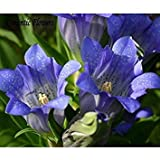 ASTONISH Seeds: 100 Seeds/Pack,New Home Garden Plant Gentian Gentiana Acaulis Seeds
