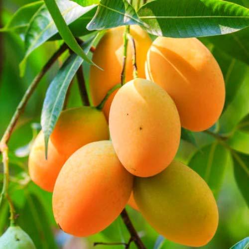 """PAPCOOL Mango Trẹẹ- Tropịcal Frụit Trẹẹ 12""""-24"""" Tall"""