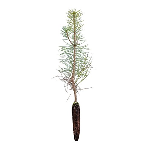 Austrian Tree Pine (Austrian Black Pine | Small Tree Seedling | The Jonsteen Company)