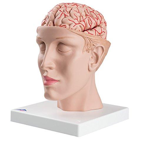 Half Human Head with Deluxe Brain with Arteries Anatomy (Deluxe Brain Model)