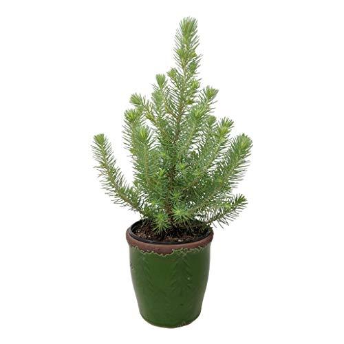 Italian Stone Pine - 4
