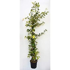 PLANTI' Piante vere da esterno | GELSOMINO Rincospermun | Piante da giardino Gelsomino rampicante, piante da esterno… 41RjfZ4 7ML. SS300