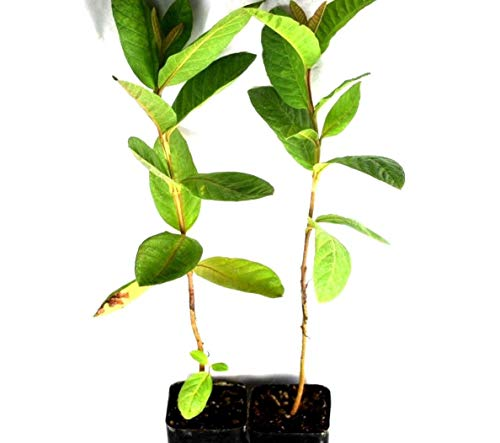 Pink Guava Tree Live 2 Plant Pack Potted 6-10 Inch Tropical Fruit 1 Year Old from Seed ()