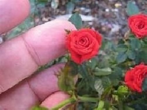 20+ Miniature, Mixed Color Angel Wings Rose Bush Seeds USA Seller ()