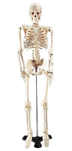 Mr. Thrifty Budget Skeleton Model 33 1/2 in High for Classroom Use (Human Skeleton Model compare prices)