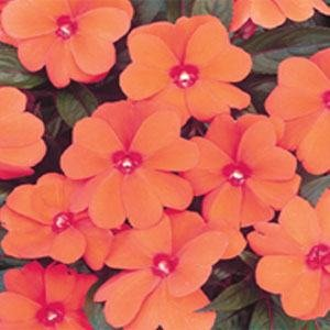 Outsidepride Impatiens Baby Orange Flower Seed - 1000 Seeds