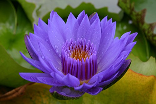BLUE WATER LILY LAURA FRASE, SOLD AS: BARE ROOT